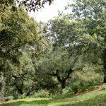 Уэльва пробковый дуб